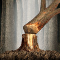 Deforestation concept and when a tree falls symbol with an old tree in a forest being cut down for development or fire wood as a Royalty Free Stock Images