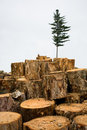 Deforestation. Ecology. Fir. Stock Photos