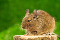 Degu eating pet food Stock Photo