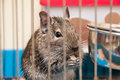 Degu eating snack in cage Royalty Free Stock Photo