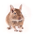Degu isolated Stock Photography