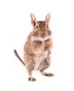 Degu isolated Royalty Free Stock Images