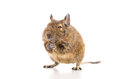 Degu mouse Stock Photos
