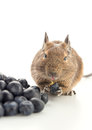 Degu mouse eating blueberry Royalty Free Stock Photos