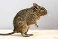 Degu rodent in profile cute standing closeup view Stock Images