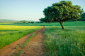 Dehesa landscape holms oaks on green wheat fields spain Royalty Free Stock Photography