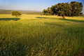Dehesa landscape holms oaks on green wheat fields spain Royalty Free Stock Photo