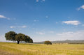 Dehesa landscape holms oaks on green wheat fields spain Royalty Free Stock Image
