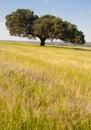 Dehesa landscape holms oaks on green wheat fields spain Royalty Free Stock Photo