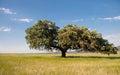 Dehesa landscape holms oaks on green wheat fields spain Royalty Free Stock Images