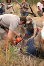 Dehorning of large rhino after been darted and stabilized Royalty Free Stock Photo