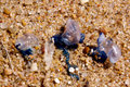 Dehydrating bluebottles washed up by waves on shoreline Stock Photo