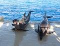 Delfínes en una foto de la piscina Foto de archivo libre de regalías