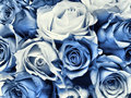 Delft Blue wedding bouquet Stock Photos
