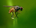 Delia sp fly teetering on the dew drops on the grass Royalty Free Stock Photography