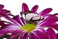 Delias isocharis Butterfly