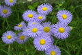 Delicate blue flowers erigeron speciosus flower seen from above ornamental flowering summer blooms lavender with yellow disc the Royalty Free Stock Images