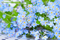 Delicate blue flowers forget me on background of with green leaves Stock Images
