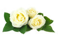 Delicate bouquet of cream-colored roses Royalty Free Stock Image