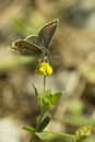 Delicate brown argus butterfly on a yellow flower in surrey hills england uk Royalty Free Stock Photography