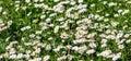 Delicate Field Of Flowers