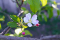 Delicate flower apple tree with buds on a branch among leaves. Close-up. Royalty Free Stock Photo