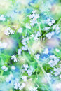 Delicate flowers little beautiful forget me Royalty Free Stock Photo