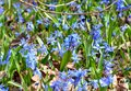 Delicate flowers scilla siberica bloom in the forest, harbingers of spring Royalty Free Stock Photo