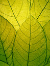 Delicate green leaves detail Royalty Free Stock Photo