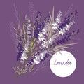 Delicate illustration lavender flower spring flowe Royalty Free Stock Photography