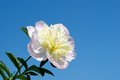 Delicate peony blossoming white against the blue sky Royalty Free Stock Images