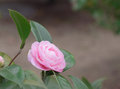 Delicate pink camellia in the green leaves even more Stock Photo
