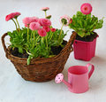 Delicate pink daisies in a basket and watering can on white table Royalty Free Stock Photo