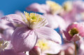 Delicate pink flower of clematis on background of bright blue sk sky Stock Photography