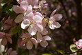 Delicate pink flowers of blooming decorative apple tree Royalty Free Stock Photo