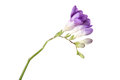 Delicate purple freesia blossom on white background close up Royalty Free Stock Photography