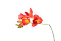 Delicate red freesia blossom on white background close up Stock Photography