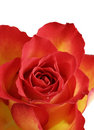 Delicate and soft rose Royalty Free Stock Images