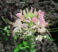 Delicate pink and white Spider flower in garden Royalty Free Stock Photo