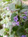 Delicate spring light purple ground-ivy flowers on a blurry green background Royalty Free Stock Photo