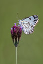 Delicate white butterfly sitting on a purple wild flower on gree Royalty Free Stock Photo