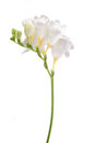 Delicate white freesia blossom on white background close up Stock Photos