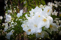 Delicate, white, knock-out roses in full bloom Royalty Free Stock Photo