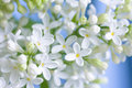 Delicate white lilac branch closeup photo Royalty Free Stock Image