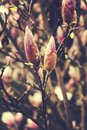 Delicate white spring magnolia blossom on a tree branch in the g