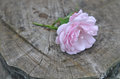Delicate Wild Rose  Flower On ...