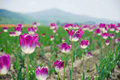 Delicated Violet Tulips in the field with mountain on the backgr Royalty Free Stock Photo