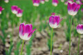 Delicated Violet Tulips in the field Royalty Free Stock Photo