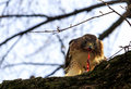 Delicious dinner a red tailed hawk feasting on a field mouse Stock Photography