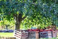 Fresh picked red ripe apples in crates under apple trees Royalty Free Stock Photo